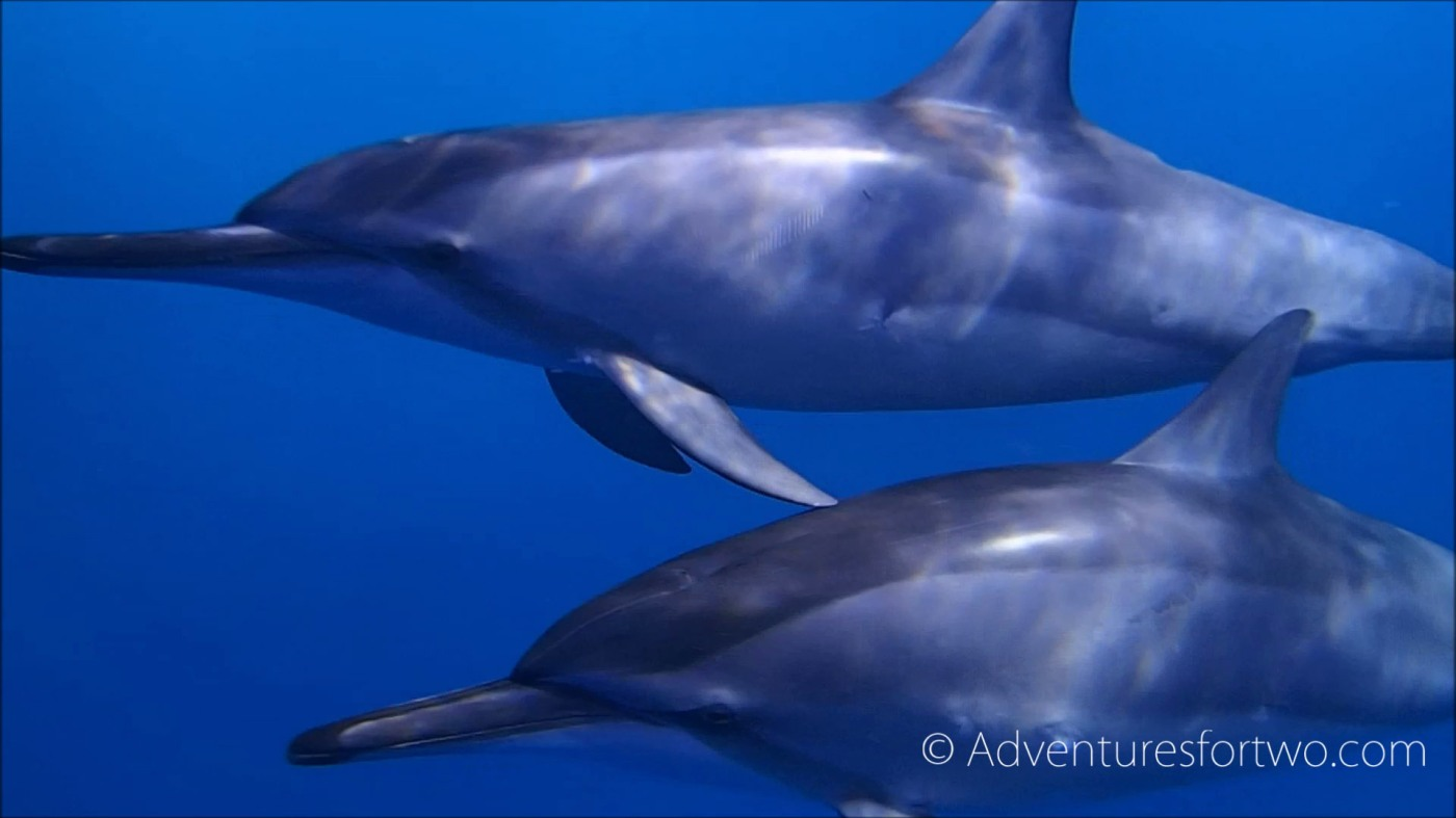 Wild dolphins during a dive off the Kona coast in Hawaii