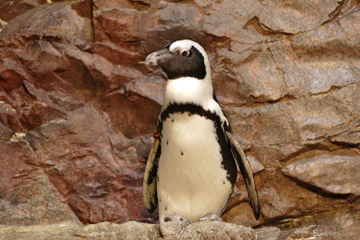 Boston Aquarium Penguins
