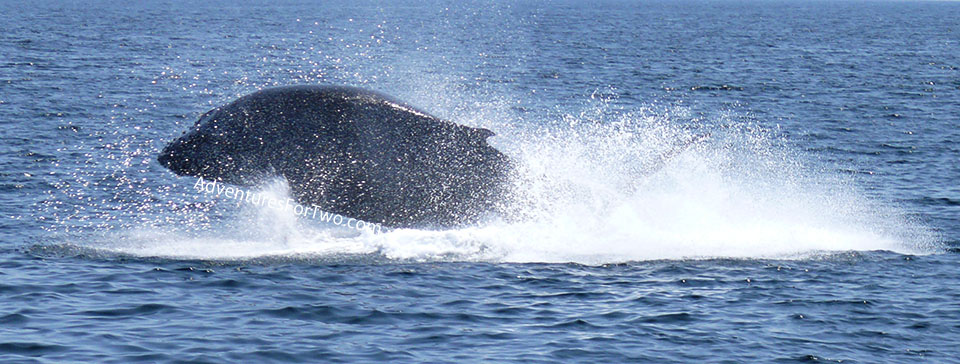 whale jumping