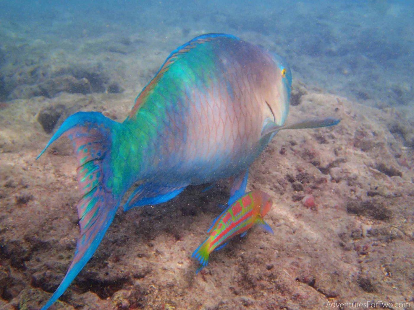 Hanauma Bay snorkeling Parrotfish