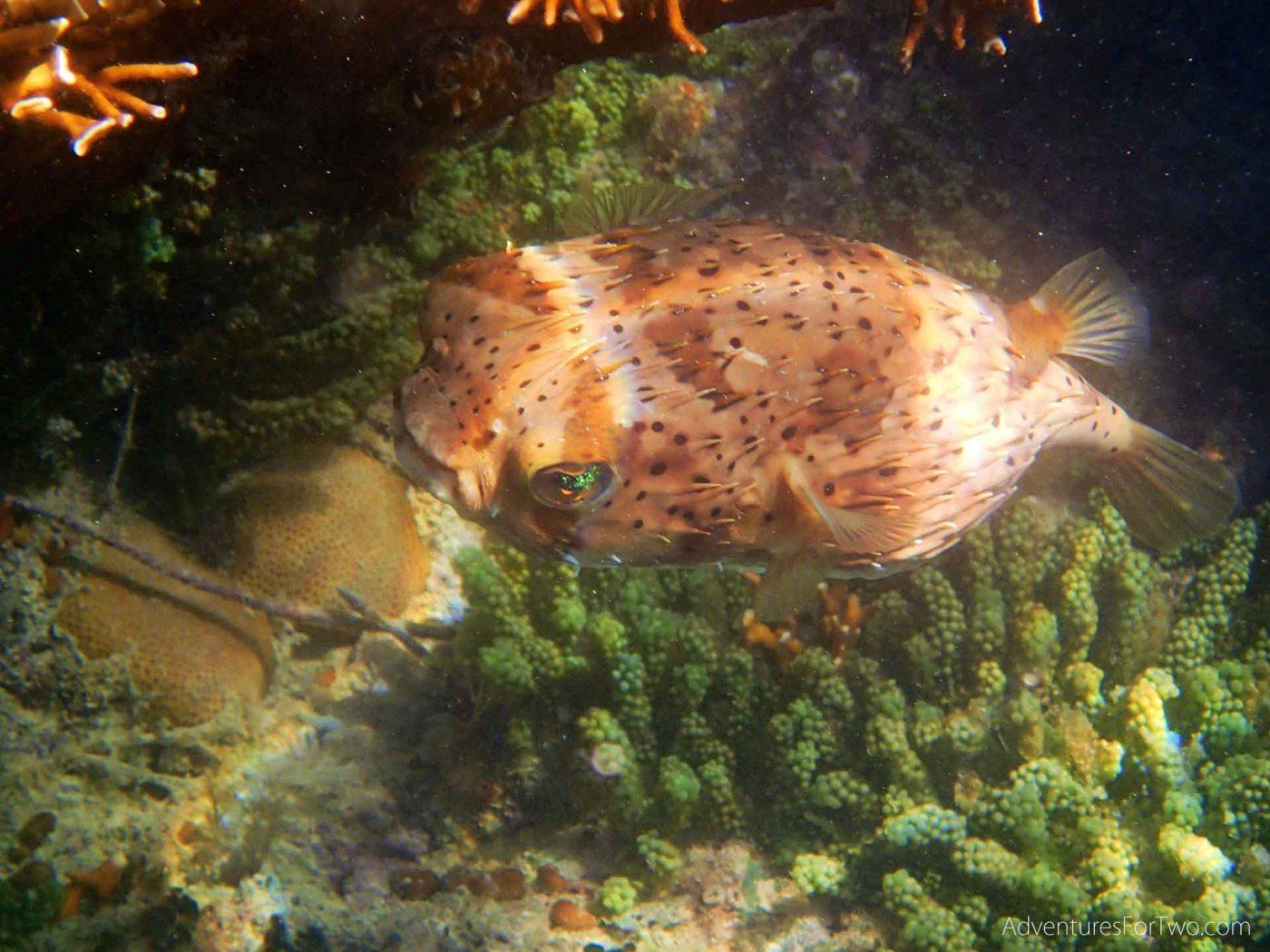 Bermuda snorkeling puffer fish