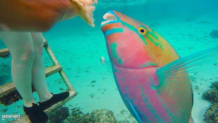 parrot fish moorea