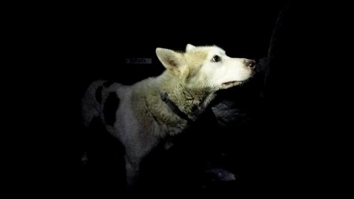 alaskan husky dog sled