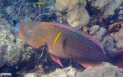bahamas parrotfish snorkeling
